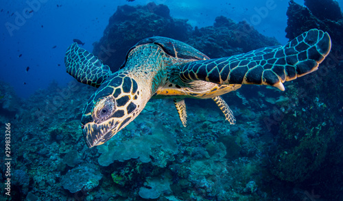 Poster Coral reefs Hawksbill Turtle (Eretmochelys imbricata) swimming in the ocean over a coral reef