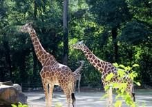 Three Giraffes In Zoo