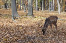 Deer In The Autumn Park 2