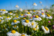 Close-up of wet white daisies blooming outdoors