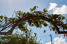 Beautiful Plant Grown Over A Metal Arch In A Garden