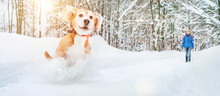 Active Beagle Dog Running In D...