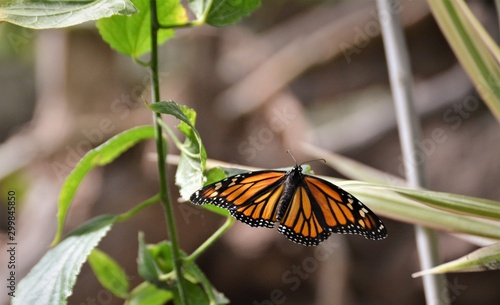 butterfly, insect, monarch, flower, nature, orange, wings, garden, green, macro, black, animal, fly, close-up, summer, wing, plant, bug, wildlife, beautiful, spring, white, beauty, butterflies