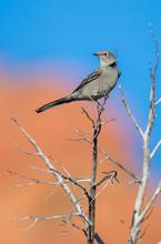 Gray Bird On Cacti