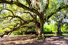 Old Southern Live Oak In New Orleans Audubon Park With Hanging Spanish Moss In Garden District And Thick Tree Of Life Trunk With Nobody In Louisiana City