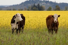 Two Hereford Cows Stand In Fro...