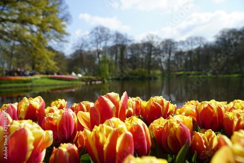 Tulip garden keukenhof Netherland