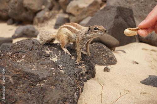Streifenhörnchen will die Erdnuss Fototapet