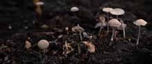 Pleated Inkcap Mushrooms Growing On Soil In Autumn.
