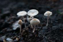 Pleated Inkcap Mushrooms (Para...