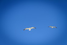 Low Angle Shot Of Two Seagulls Flying The Clear Blue Sky