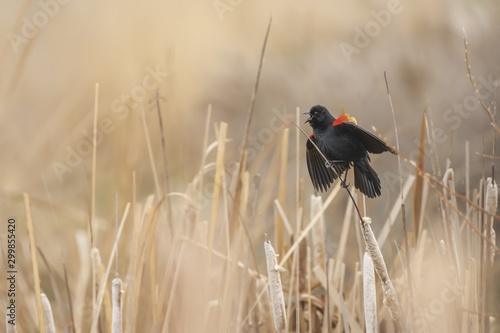 Photo Closeup shot of a red winged blackbird on a plant while chirping with a blurred