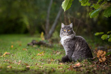 Side View Of A Young Blue Tabby Maine Coon Cat With White Collar Outdoors In Nature Sitting Next To Autumn Leaves On Grass Looking At Camera