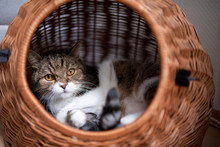 Tabby White British Shorthair Cat Relaxing In Comfortable Pet Carrier Basket Looking Out