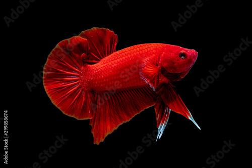 Betta fish Fight in the aquarium Canvas Print