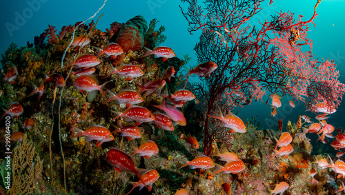 A school of Cherry Anthias