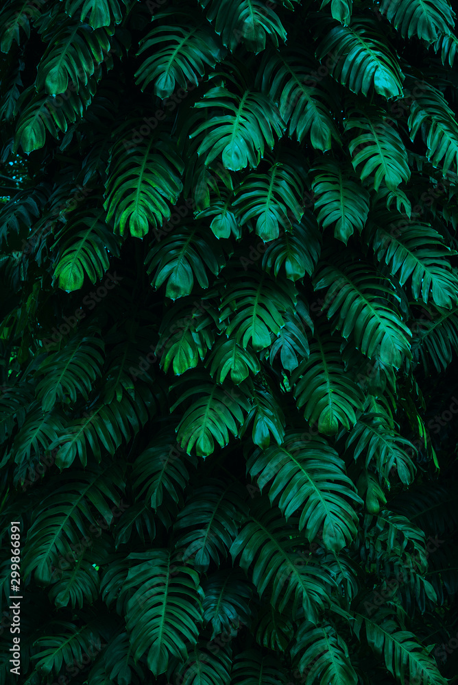 Fototapeta tropical leaves, abstract green leaves texture, nature background