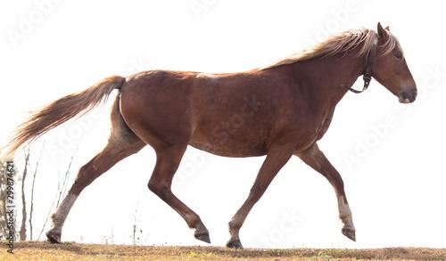 Fototapety, obrazy: Horse runs isolated on a white background