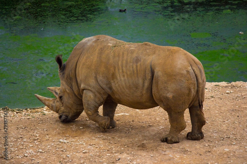 rhinoceros standing on sandy surface in reserve