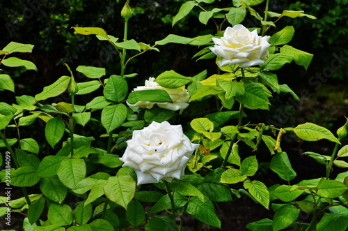 Fotografie, Obraz  beautiful flowers of teahouse roses in a garden bed