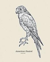 The American Kestrel (Falco Sparverius), Hand Draw Sketch Vector.