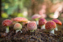 Big Group Of Mushroom Amanita Muscaria, Commonly Known As The Fly Agaric Or Fly Amanita. It Is Poisonous. And Is Noted For Its Hallucinogenic Properties.
