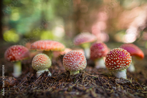 Big group of mushroom Amanita muscaria, commonly known as the fly agaric or fly amanita Canvas Print