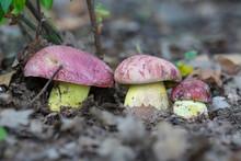 White Mushrooms Butyriboletus ...