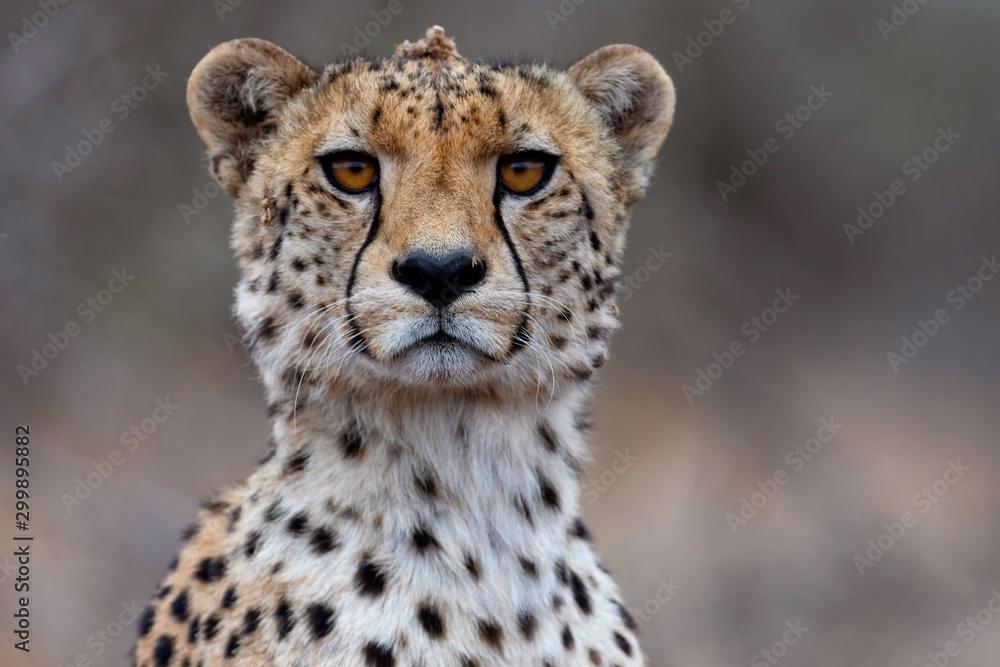 Fototapeta The Cheetah Stare