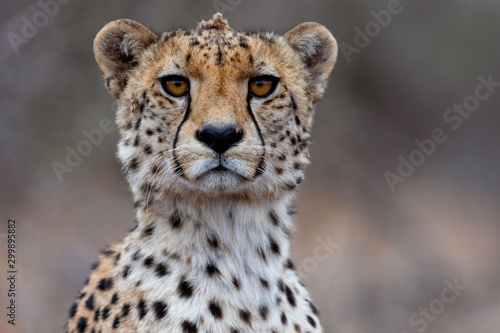 Canvas Print The Cheetah Stare