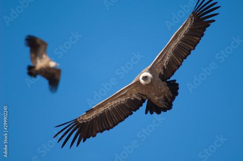 Photo  Griffon vultures (Gyps fulvus) in flight