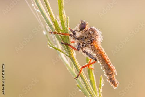 Pędźka rudonoga (Dioctria rufipes) - 299902874