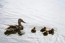 A Family Of Ducks, Mother Duck...