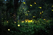 Firefly In Forrest