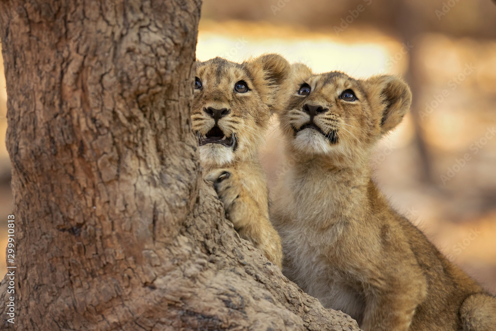 Fototapeta Asiatic lion is a Panthera leo leo population in India. Its range is restricted to the Gir National Park and environs in the Indian state of Gujarat.