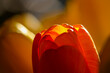 details of a tulip blooming in yellow and red in backlight