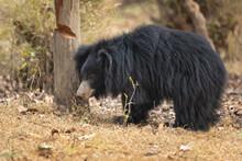 Sloth Bear (Melursus Ursinus) ...