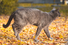 A Gray Cat Yawns On The Go Full Length Photo, The Cat Is Standing On The Leaves