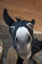 Funny Muzzle Of Dark Donkey Appealingly Looking On You
