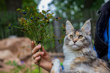 Beautiful Maine Coon Cat And A Sprig Of Blueberries In The Hands Of A Woman