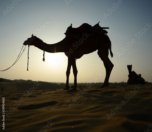 Fotografering  Indian cameleer (camel driver) with camels silhouettes in dunes of Thar desert on sunset at Jaisalmer, Rajasthan, India