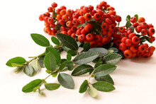 Orange Pyracantha Plant; Pyracantha Coccinea