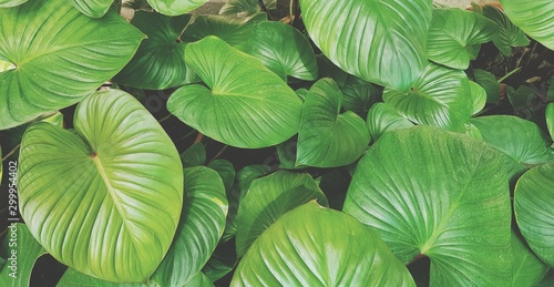Fototapety, obrazy: Fresh green leaves pattern for background at garden park in vintage tone - Beauty of Nature, Growth, Plant and Natural wallpaper concept