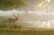 canvas print picture - Red Deer (Cervus elaphus) next to a pond at sunrise, taken in England