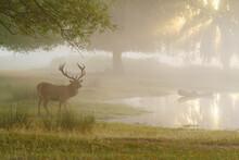Red Deer (Cervus Elaphus) Next...