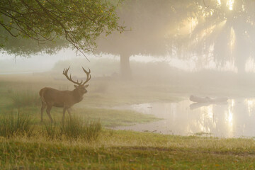Red Deer (Cervus elaphus) next to a pond at sunrise, taken in England