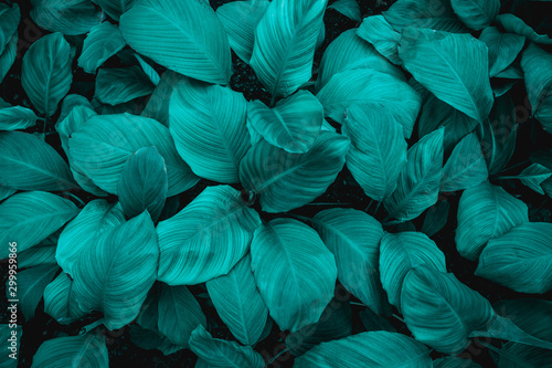 Poster Fleur leaves of Spathiphyllum cannifolium, abstract green texture, nature background, tropical leaf