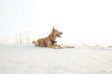 A Dog Lying On Sand With A Wooden Stick On Sunset