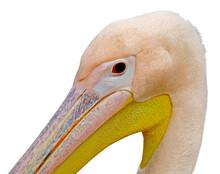 Portrait Of A Beautiful Pelican