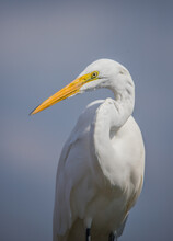 Great Egret Profile In Pond